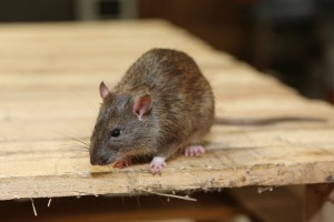 Rodent Control, Pest Control in Orsett, Chafford Hundred, RM16. Call Now 020 8166 9746