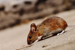 Mouse extermination, Pest Control in Orsett, Chafford Hundred, RM16. Call Now 020 8166 9746