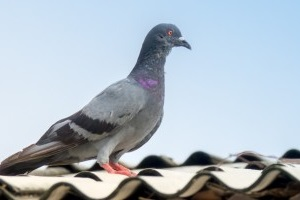 Pigeon Pest, Pest Control in Orsett, Chafford Hundred, RM16. Call Now 020 8166 9746